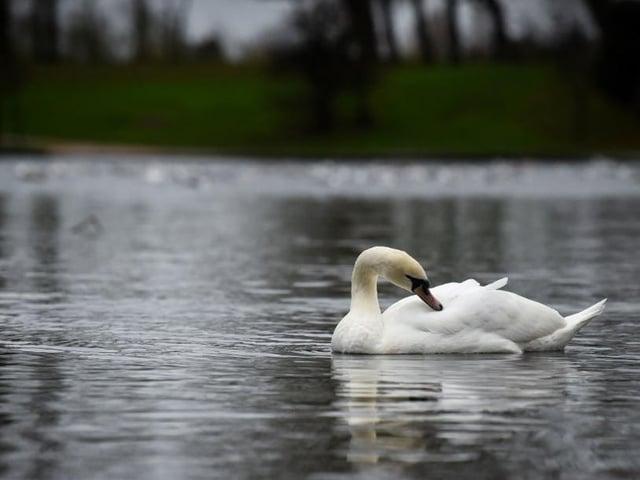 A swan in Stanley Park