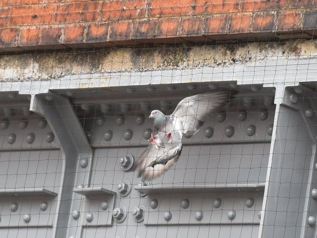 A wildlife rescue centre in Blackpool is calling for safer measures to be put in under Devonshire Road bridge, to prevent pigeons from becoming trapped behind the netting. Photo: Daniel Martino/JPI Media