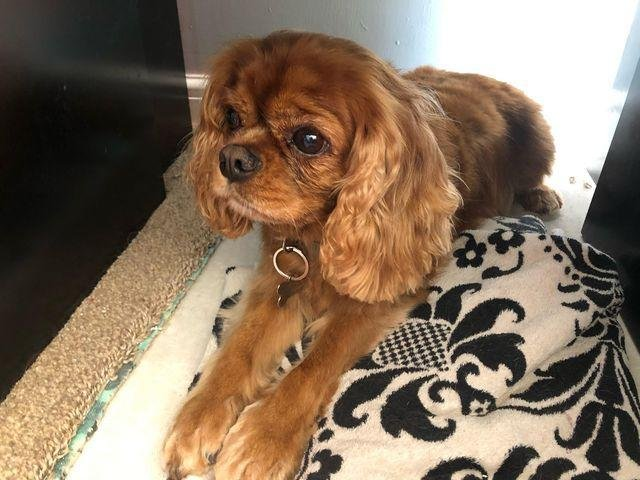 Eight-year-old Ruby, the Motley family's beloved Cavalier King Charles Spaniel