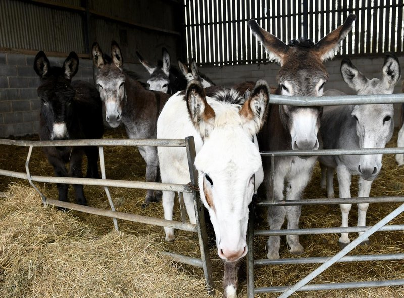 Blackpool's donkeys on their Yorkshire farm, getting ready to receive a haircut ahead of the start of their summer season.