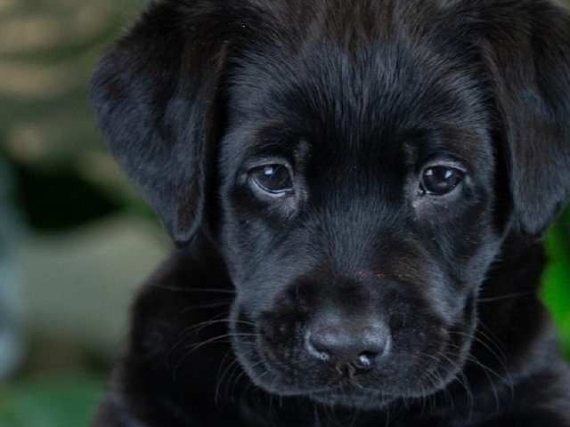Guide Dog puppy Selsey