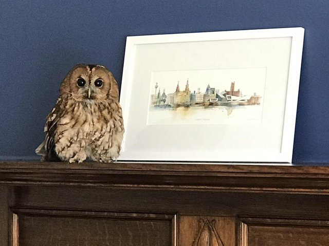 The tawny owl checks out its new surroundings
