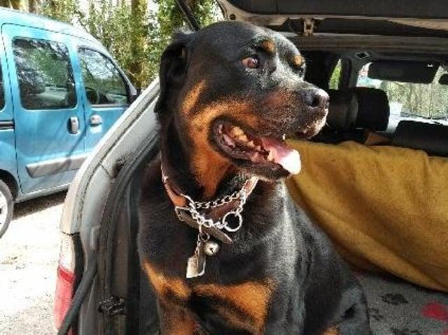 Rambo the dog