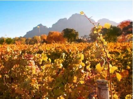 Autumn leaves on the vines in the vineyards at Boschendal, South Africa