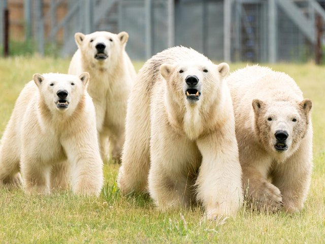 Polar bear Flocke (second right) and her three cubs Tala (left), Yuma (second left) and Indiana (right) in the second Project Polar reserve at Yorkshire Wildlife Park in Cantley, near Doncaster