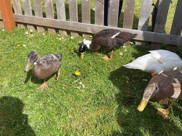 They are Indian runner ducks and cannot fly